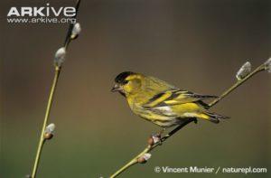 Eurasian-siskin-male-perched