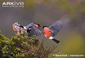Male-bullfinches-fighting