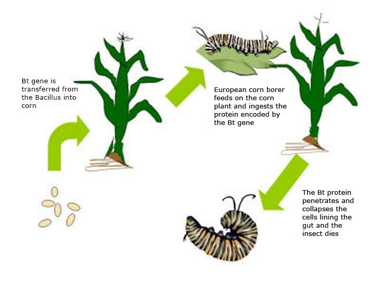 1) Bt gene is transferred from the Bacillus into corn. 2) European corn borer feeds on the corn plant and ingests the protein encoded by the Bt gene. 3) The Bt protein penetrates and collapses the cells lining the gut and the insect dies