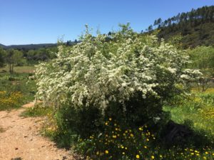 Common hawthorn at Master Unit (Paul, Portugal)