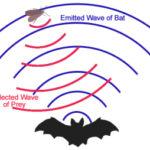 The bats' echolocation
